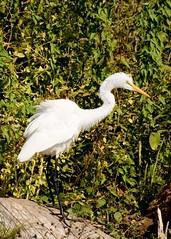 Great Egret (glennharriman) Tags: bird birds egret greategret egrets greategrets