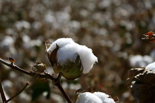 Cotton Bokeh