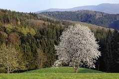 before the spring has passed (claude05) Tags: geotagged blackforest springtime kandelblick challengeyouwinner freiamtottoschwanden kuriseck zumgscheid geo:lat=48132796 geo:lon=7951619