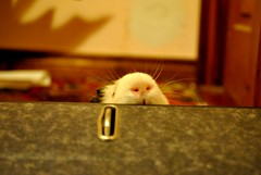 (ariemay-lairecay) Tags: nose guinea pig whiskers