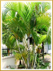 Dypsis lutescens (Yellow Butterfly Palm, Golden Yellow Palm, Yellow Bamboo Palm, Cane Palm, Areca Palm)