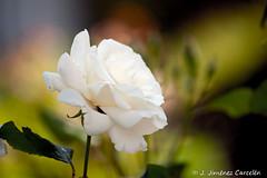 Rosa Blanca (By  Jess Jimnez) Tags: naturaleza portugal canon photography flora flor rosa jc braga jess rosablanca enflor repblicaportuguesa 450d canon450d canoneos450d kdds n309 kddsvigo jessjimnezcarceln estradanacional309 jessjcphotography