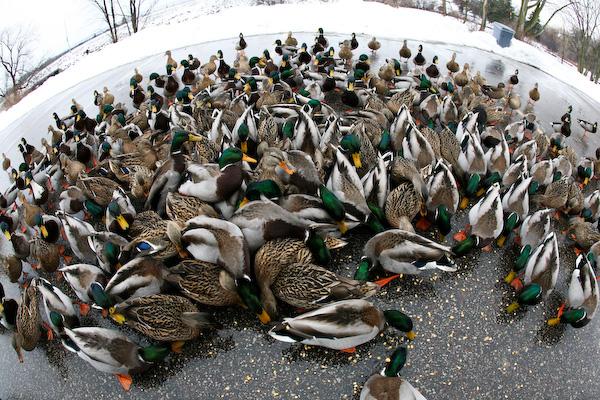 ducks0015