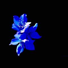 TRue BLue BaBy i LoVe You!!! (Sash´s Kitchen-Studio Photography) Tags: blue black love photoshop square cherry searchthebest sash 200 sascha iloveyoutoo soe visualart hmb quadrat onblack rueb furz 500x500 blueribbonwinner beautysecret bej insashi fineartphotos abigfave innamoramento rüb artlibre anawesomeshot superphotos irresistiblebeauty flickraward infinestyle citrit theunforgettablepictures newacademy macromarvels betterthangood goldstaraward excapturemacro qualitypixels awesomeblossoms obq vision100 oraclex phvalue lesamisdepetitprince oneofmypics sensationalphoto thedantecircle themonalisasmile imagesforthelittleprince visionqualitygroup flickrcinated youarepunishedformissingfromaspecialplace tsoooksashenka allrightreserved©sascharueb allrightsreserved©sascharueb sash´skitchenstudiophotography