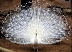 White peacock (floridapfe) Tags: life white bird animal zoo nikon korea soe everland  naturesfinest  supershot mywinners platinumphoto anawesomeshot impressedbeauty aplusphoto ultimateshot