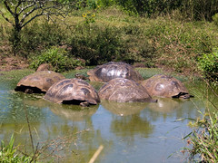 Giant Tortoises in water hole 02