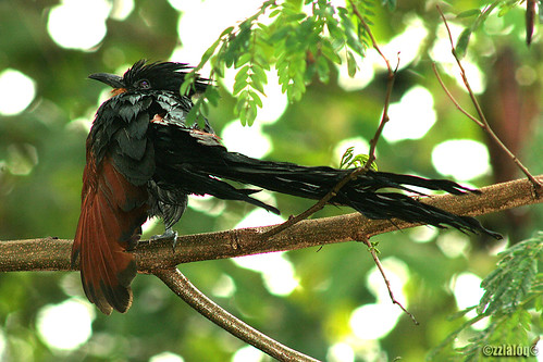 Sewah Berjambul @ Chestnut-winged Cuckoo