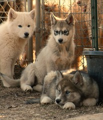 Wolf-Dog Cubs/Puppies - IMG_4585_FLICKR (greensh) Tags: dog wolf timber wolfdog