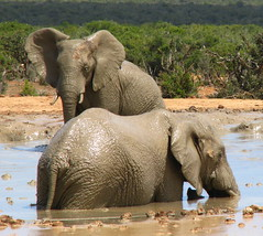 Mud Bath (Sandra Leidholdt) Tags: africa wild nature animals southafrica addo tiere bath mud wildlife safari explore bathe afrika elephants females bathing easterncape elefanten mudbath elefantes  loxodontaafricana afriquedusud zuidafrika explored sandraleidholdt leidholdt sandyleidholdt