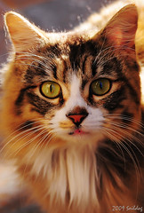Avril (Saildog Photography) Tags: chris beautiful cat florida kitty explore christen jacksonville fl jax avril alleycat northflorida atlanticcoast bestofcats sigma1850mm28 visiongroup flickrdiamond northeastflorida nikond300 saildog catmoments catnipaddicts 5boc struckbyrainbow serenasmad boc0309