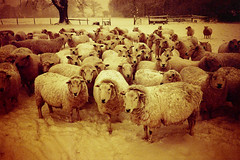 flock / red (slimmer_jimmer) Tags: sheep olympusxa2 flockofsheep redscale ashridgeforest fujisuperior400 ringshall wardhurstfarm