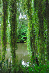 The Beth Chatto Gardens - Weeping Willow or Sweeping Willow?