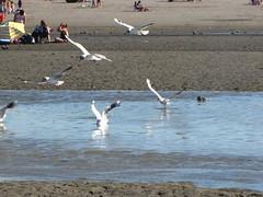 pescando (Keco F.) Tags: mar gaviotas pescando