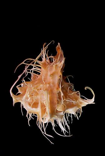 Caja-manga semente - (Spondias dulcis Forst.) - seed