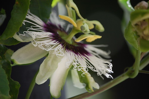 granadilla bloom