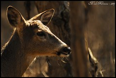 White Tailed Deer (/Sawyer/) Tags: white closeup female outside mammal illinois nikon doe deer tokina d200 nikkor whitetaileddeer 80200mm kenko nikond200 nikkor80200mm 2xtelepluspro300 nikoned capturenx2 illinoisdeer