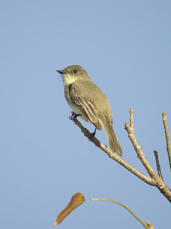 Empidonax sp. Flycatcher