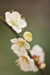 (Yoichi_) Tags: flowers japan geotagged tokyo nikon bokeh plum 新宿御苑 ume shinjukugyoen 梅 d300 ウメ geo:lon=139709036 flowersmacroworld geo:lat=35684455