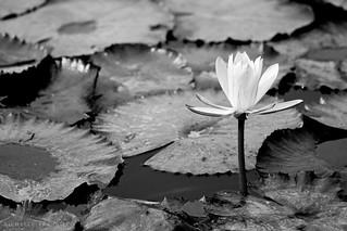 Lotus soliloquy