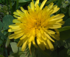 Dandelion, March 26, 2009