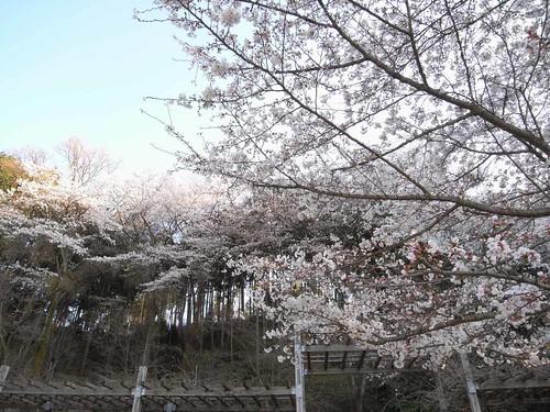 2009年-桜@明日香村-10