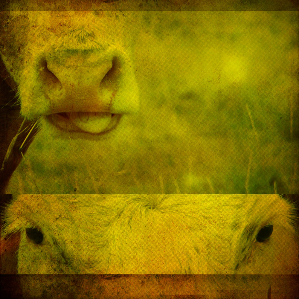 bovine pituitary extract to buy