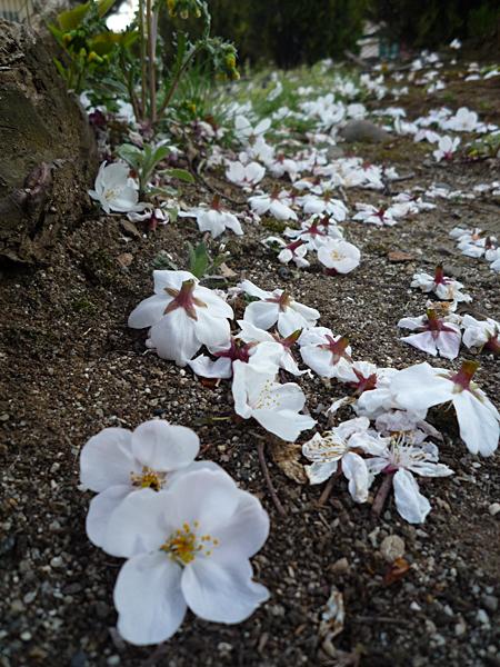 桜の散り方が変?