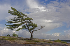 Windswept Tree (Rock Steady Images) Tags: camping summer ontario canada canon handheld rebelxt killbear sigma1770mmf2845 photoshopcs3 7pointsystem bypaulchambers topazvivacity rocksteadyimages