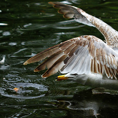 Go for it!! (Steve-h) Tags: ireland dublin water beautiful canon reflections bread geotagged eos wings gull explore harmony cropped frontpage mb allrightsreserved ststephensgreen musictomyeyes iloveit 500d thegoldengallery steveh supera 35faves younggull royalgroup superaplus aplusphoto holidaysvacanzeurlaub flickraward exemplaryshots diamondstars platinumheartaward betterthangood threefaves 100faves123 shiningstar flickrestrellas thebestshot spiritofphotography