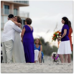 """Bulldog Bridesmaid"" (Ronaldo F Cabuhat) Tags: bulldog purpledress cocoabeach tiltshift canoneos50d cabuhat canonefs70200mmf28isusm bulldogbridesmaid weddingatcocoabeachflorida"
