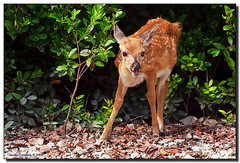 Curious Bambi (Fraggle Red) Tags: raw florida bigma deer fawn handheld bambi endangered floridakeys whitetaileddeer naturesfinest keydeer sigma50500mmf463exapo golddragon nonamekey monroeco odocoileusvirginianusclavium vosplusbellesphotos adobelightroom24