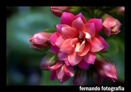 Da Série Flores