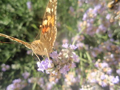 Take Off (livv_lov) Tags: macro butterfly fly paintedlady
