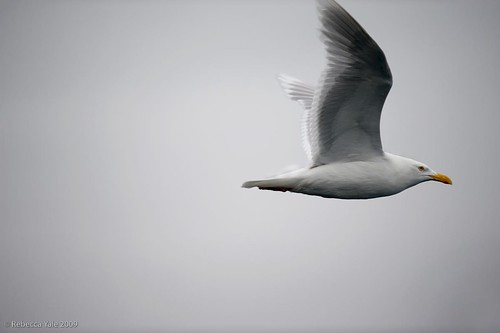 Arctic Fauna: Glaucous Gull