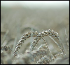 For it was not into my ear you whispered, but into my heart. It was not my lips you kissed, but my soul... (Levels Nature) Tags: uk england bw macro love nature field wheat somerset westonzoyland