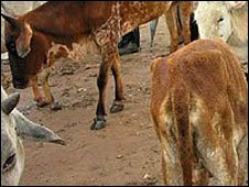 Kenyan cattle flee drought