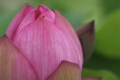 Lotus (Nam2@7676) Tags: japan dof pentax bokeh jena mc m42 ddr   135mm f35 sonnar nam2 silkypix carlzeissjena  7676 13535 k20d justpentax yasunarinakamura  nam27676 carlzeissjenaddrmcsonnar135f35