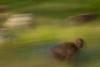 20090901-IMG_1695 (Robin100) Tags: africa animal mammal baboon ethiopia primate baboons gelada geladababoon guassa guassaplateau