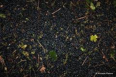 Fotovendemmia @ Tenuta il Bosco (Riccardo Pastore) Tags: italy canon eos vineyard italia wine po uva turismo canoneos vino vite vendemmia barbera ワイン bonarda mosto agricoltura winemaker pavese oltrepo vinicola spumante oltrepopavese enoturismo zonin ilbosco vinoitaliano vitivinicola youcancanon winetourism nettaredivino casavinicolazonin tenutailbosco zenevredo fotovendemmia スパークリング httpwwwwineisloveit tenutabosco zoninvineyards fotovendemmia2009