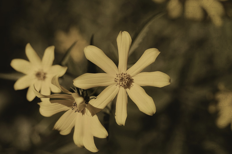 Wildflowers in sepia