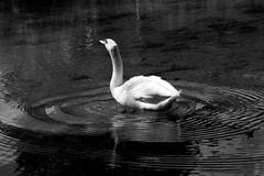 Cygne... (Pic7art) Tags: blackandwhite bw water animals canon french landscape photography photo europe noiretblanc photos eu nb animaux cygne calme paisible eos50d