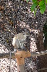Monkeying Around (Darel & Jess) Tags: pemba fundu