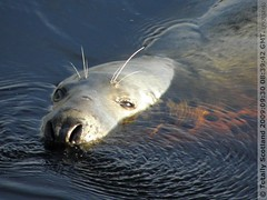 Grey seal 2/4