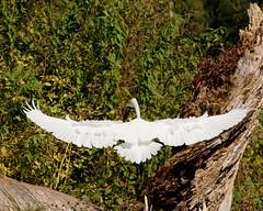 Great Egret (glennharriman) Tags: bird birds egret greategret egrets greategrets ineffable
