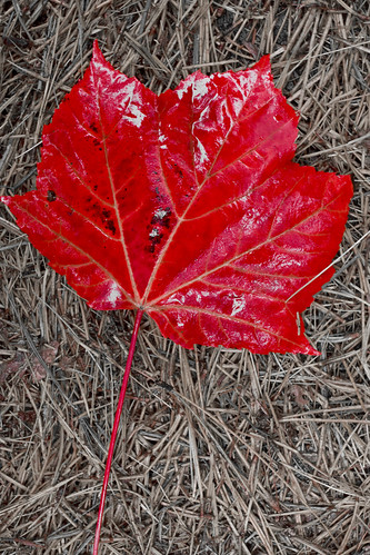 Red leaf on dry stems