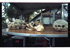 reptiles (magnafurious) Tags: film 35mm skulls kodak reptiles ricohkr5 ed200 elitechrome200 rikenon50mmf14 expiredyr2000