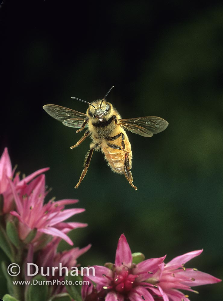 Flying honey bee (Apis mellifera)