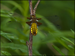 FEMALE BROAD-BODIED CHASER (d1ngy_skipper) Tags: dragonflies dragonfly chaser broadbodied