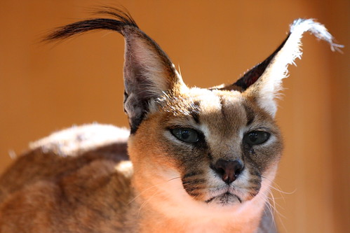 Turkmenistan Caracal by San Di...