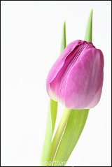 Tulip 1 (middleearthimages) Tags: uk flower green bulb john photography stem petal tulip hikey perring flickrchallengegroup flickrchallengewinner middleearthimages johnperring johnperringphotography